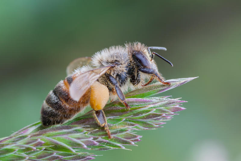 European honey bee. Macro photography of European honey bee stock photography