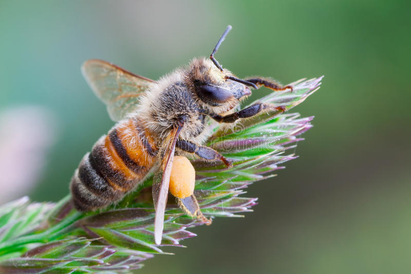 European honey bee. Macro photography of European honey bee stock images