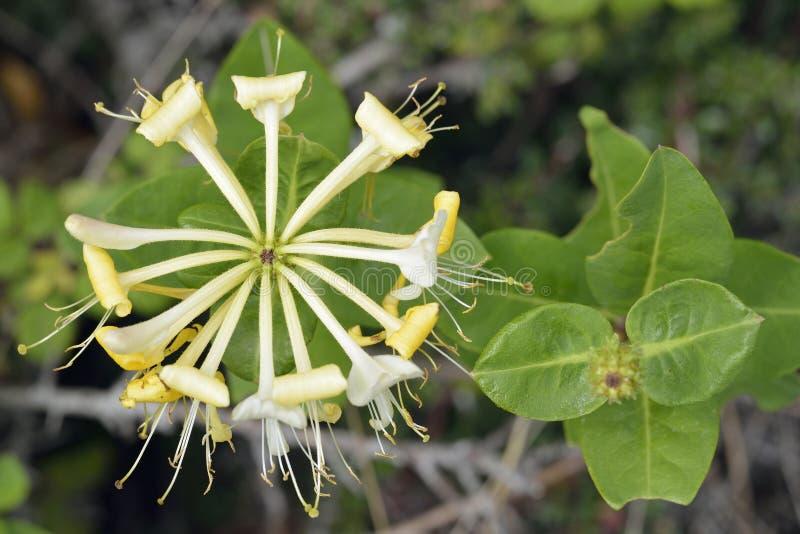 European Honeysuckle. Lonicera periclymenum Common Hedgerow Climber royalty free stock photos