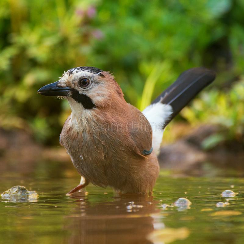 European jay Garrulus glandarius taking bath stock photo