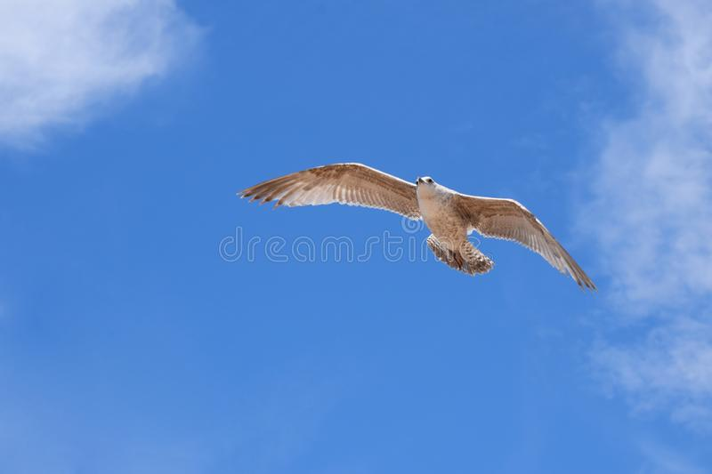 European Juvenile Herring Gull in Flight. Larus argentatus, a young mottled European herring gull soaring in blue skies royalty free stock images