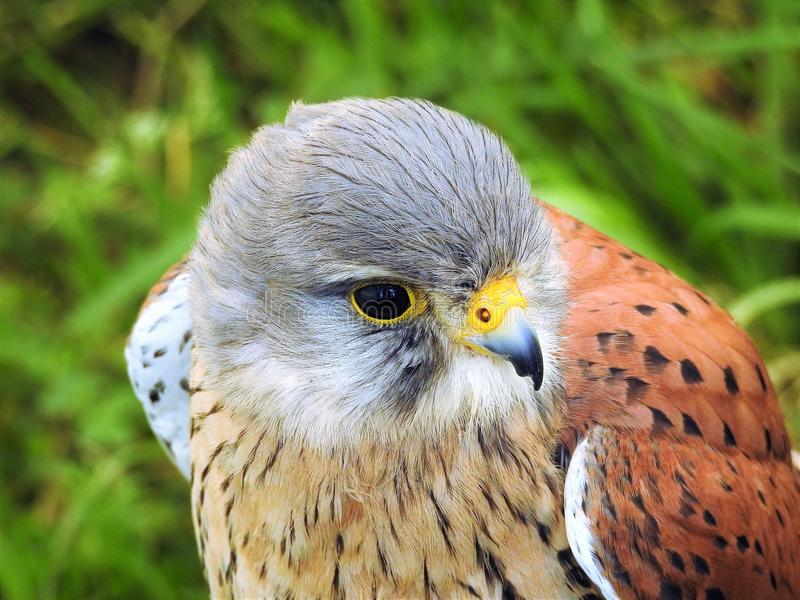 European Kestrel. The common kestrel Falco tinnunculus is a bird of prey species belonging to the kestrel group of the falcon family Falconidae. It is also known stock photo