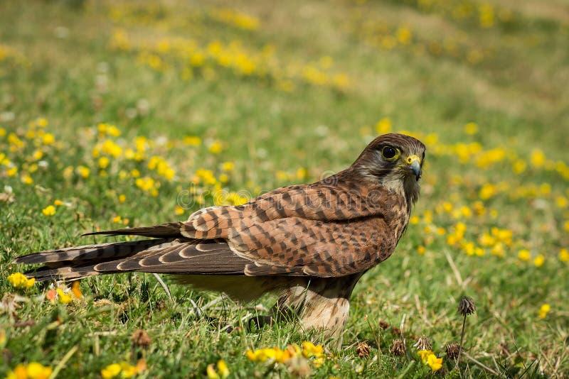 Download European Kestrel stock image. Image of falco, feathers - 43346179