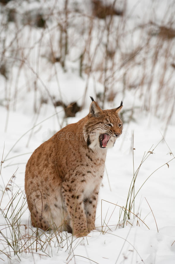 Download European lynx stock photo. Image of nature, forest, felis - 18085238