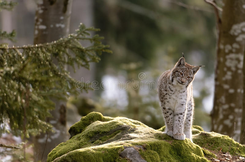 European lynx. On a rock stock image
