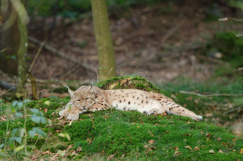 Download European Lynx Royalty Free Stock Photo - Image: 21398925
