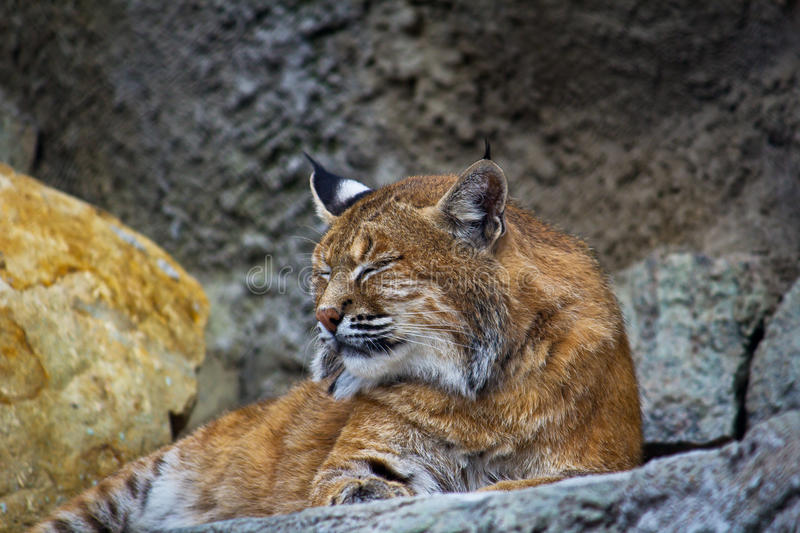 European Lynx Royalty Free Stock Photos