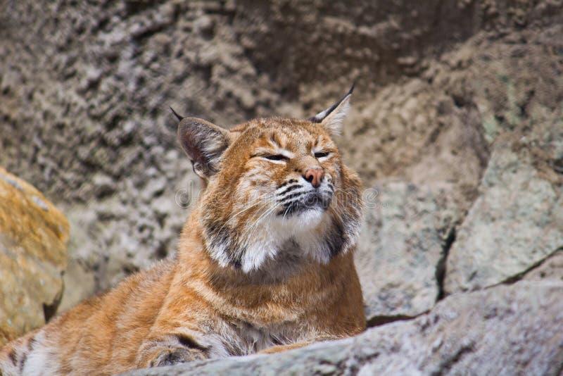 Download European lynx stock photo. Image of relax, kitty, animal - 25824186