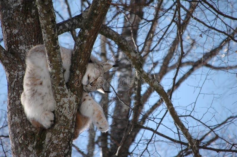 Download European Lynx stock photo. Image of powerful, animal, safari - 8863494