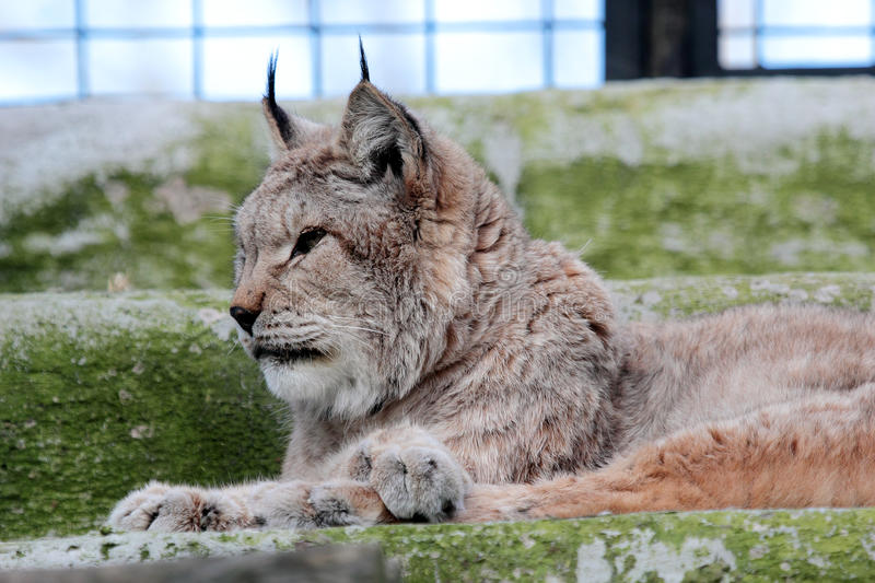 European Lynx In The Cage Of A Zoo Stock Image