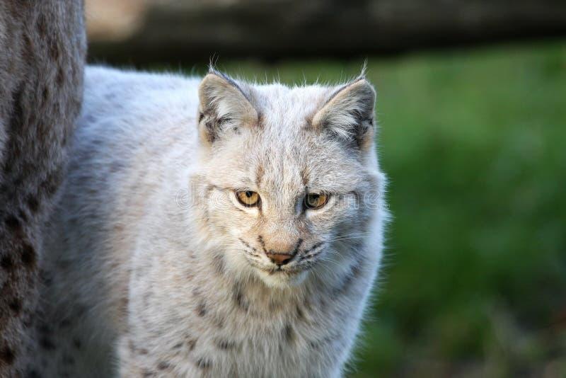 European Lynx Kitten Royalty Free Stock Image