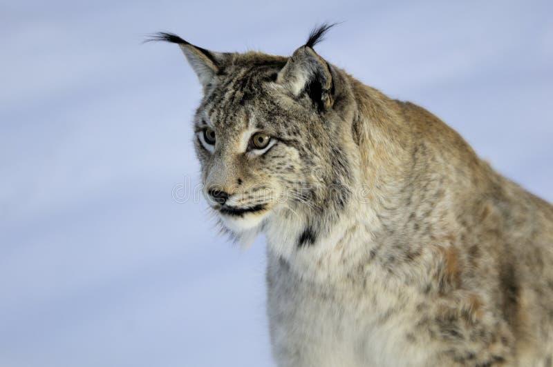 Download European Lynx (Lynx lynx) stock photo. Image of snow - 11596582
