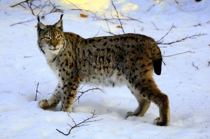 European Lynx (Lynx lynx) royalty free stock image