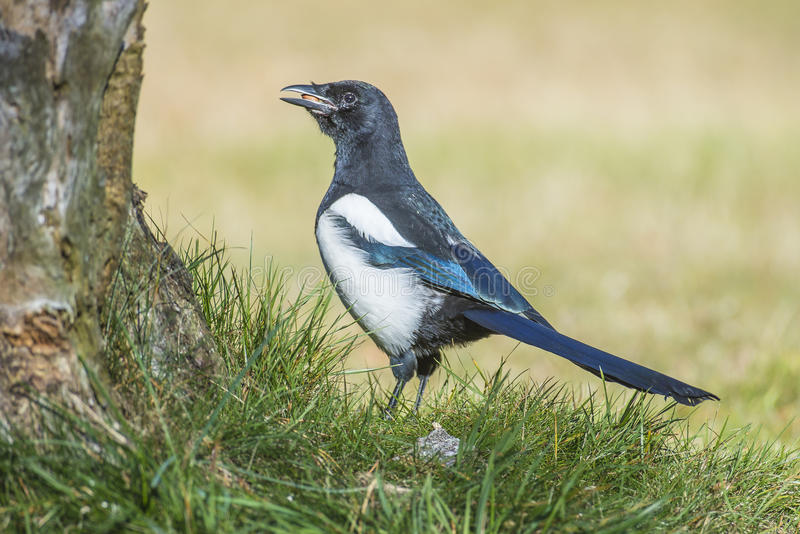 European Magpie (Pica pica). Is a crow bird that is approx. 46 cm long and is a resident breeding bird throughout Europe, much of Asia and northwest Africa. The royalty free stock photography
