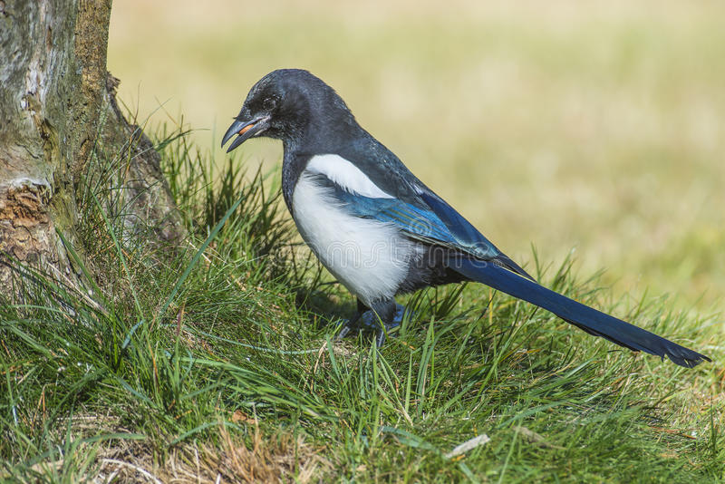European Magpie (Pica pica). Is a crow bird that is approx. 46 cm long and is a resident breeding bird throughout Europe, much of Asia and northwest Africa. The stock photography