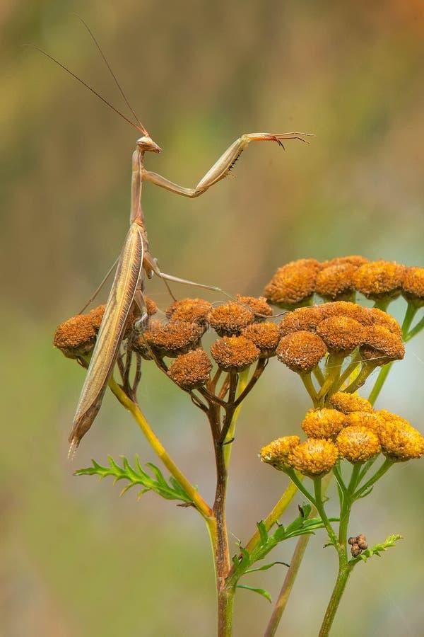 European Mantis - Mantis religiosa. European Mantis perching on a seeding common tansy flower. More commonly known as a Praying Mantis.Tommy Thompson Park stock photos