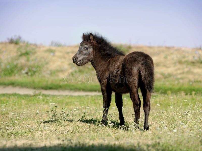 European Miniature horse portrait in summer meadow royalty free stock image