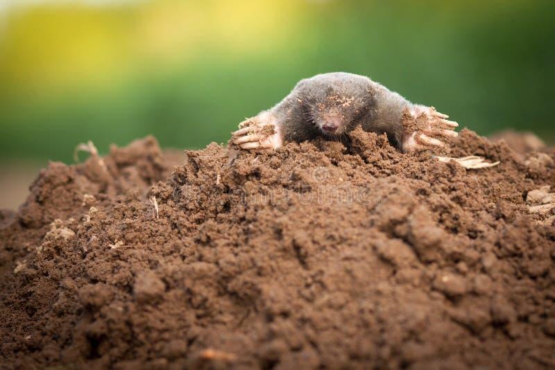 The European Mole Stock Photo