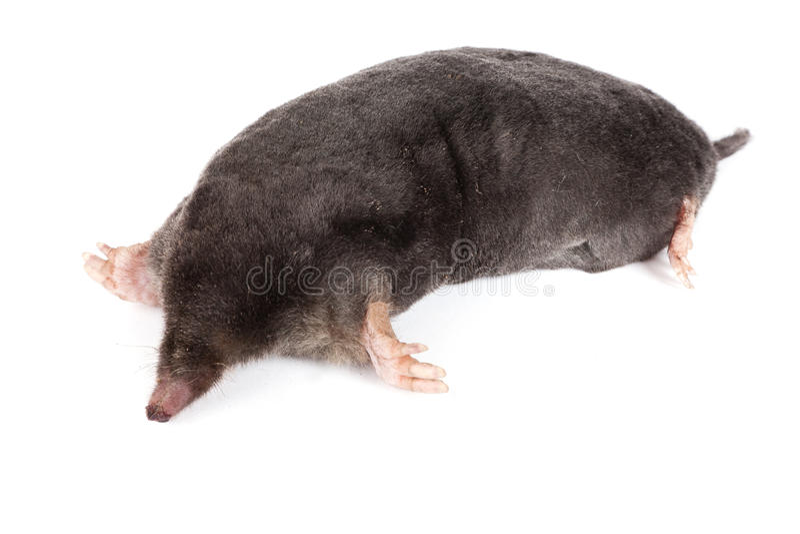 The European Mole Stock Images