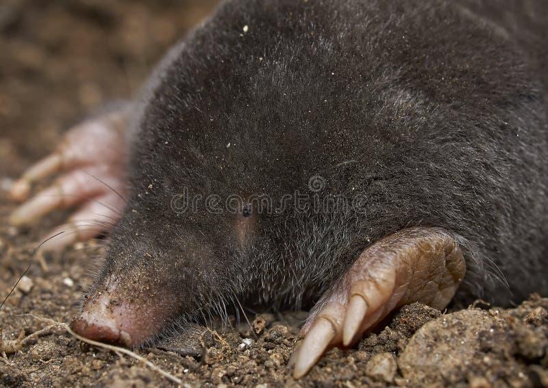 Download The European Mole (Talpa Europaea) Stock Photography - Image: 37820212