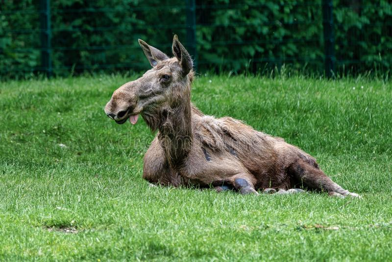 European Moose, Alces alces, also known as the elk. Wild life animal royalty free stock photos
