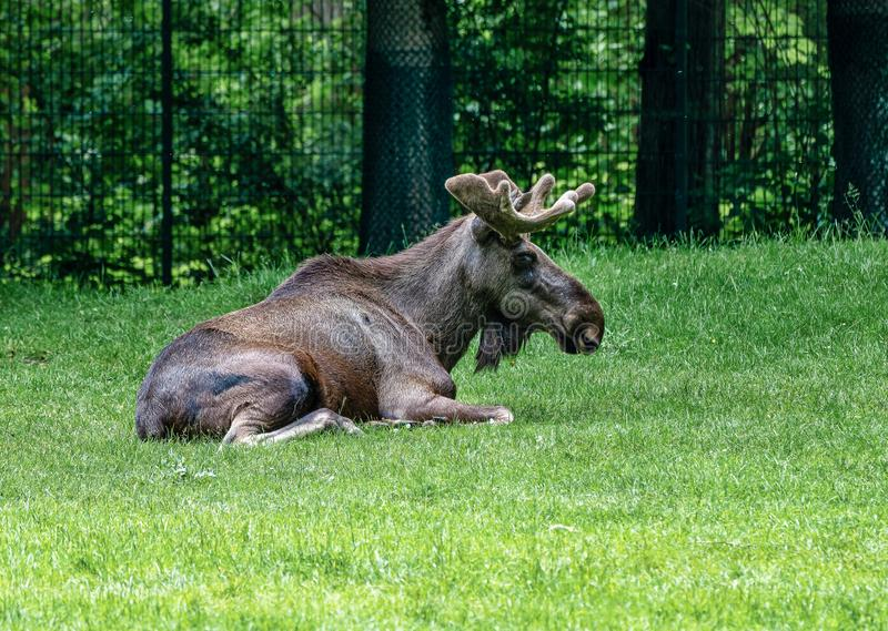 European Moose, Alces alces, also known as the elk. Wild life animal royalty free stock images