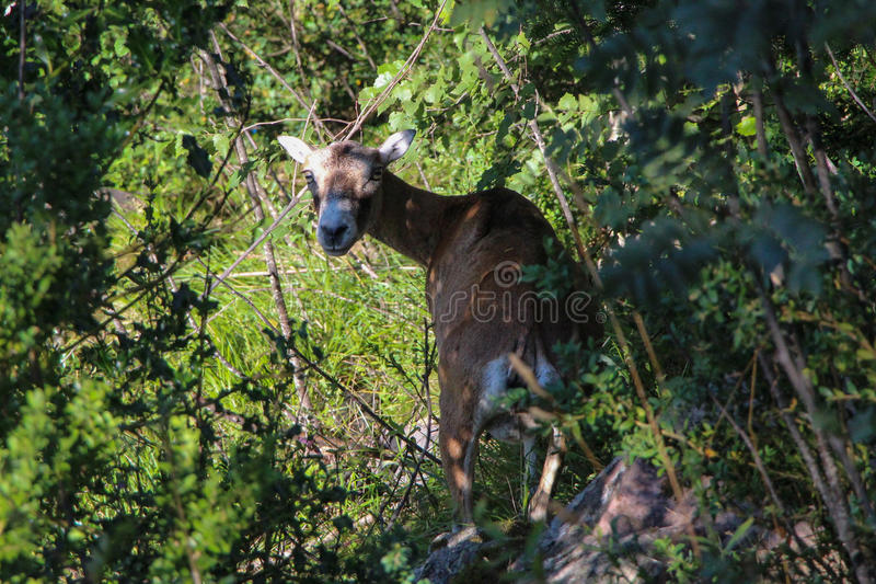 European mouflon female between trees. royalty free stock photos