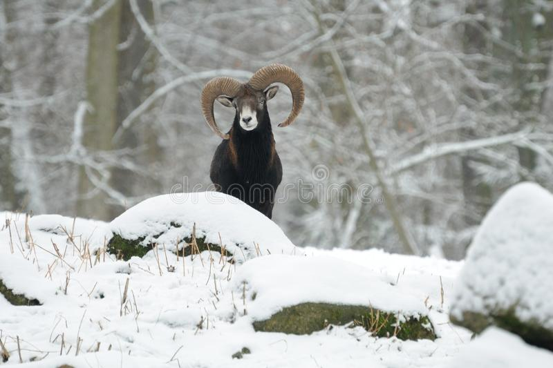 European Mouflon (Ovis Orientalis). This male mouflon belongs to the wild sheeps stock images