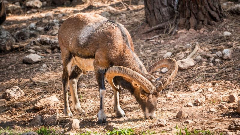 European muflon. From Corsica and Sardinia is a very common species throughout Europe and the United States, used for large game this species of artiodactilo royalty free stock image