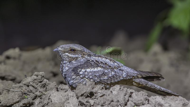 European Nightjar Cowering on Ground royalty free stock photography