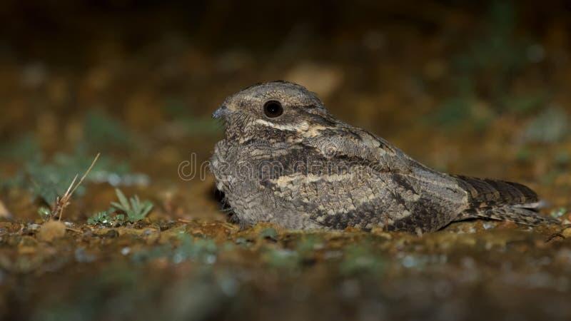 European Nightjar Caprimulgus europaeus stock image