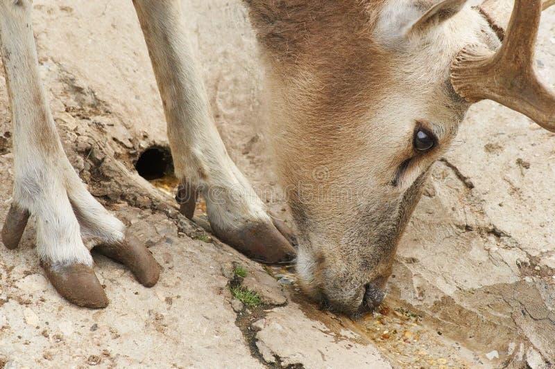 Download The European noble deer stock photo. Image of wood, animal - 243618