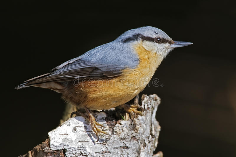 Download European Nuthatch Stock Photography - Image: 25702142