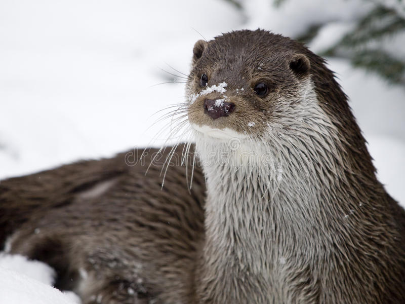 European Otter. (Lutra lutra) in the winter royalty free stock photography
