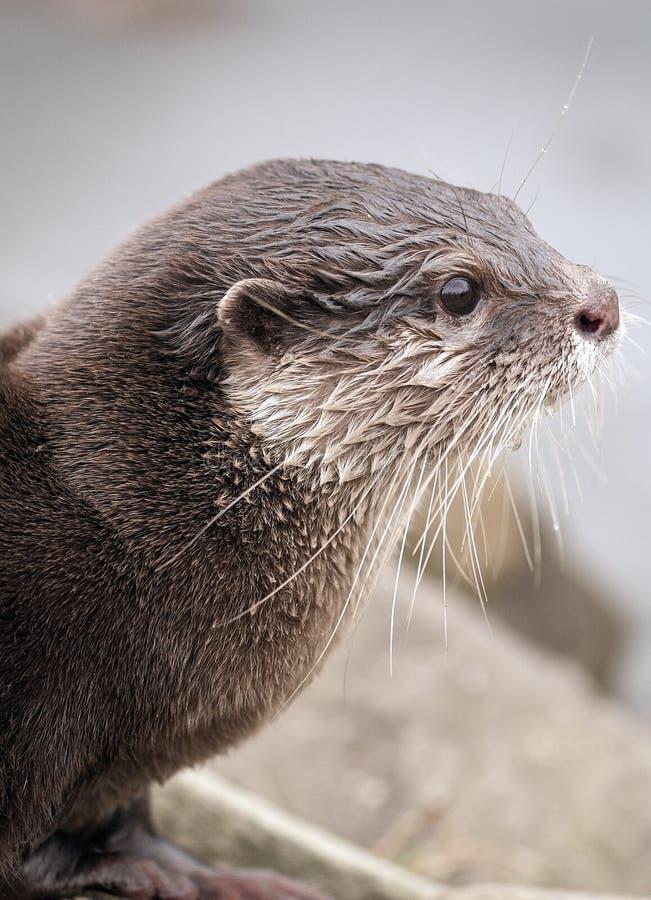 European otter. Side portrait of European or Eurasian otter outdoors stock photography
