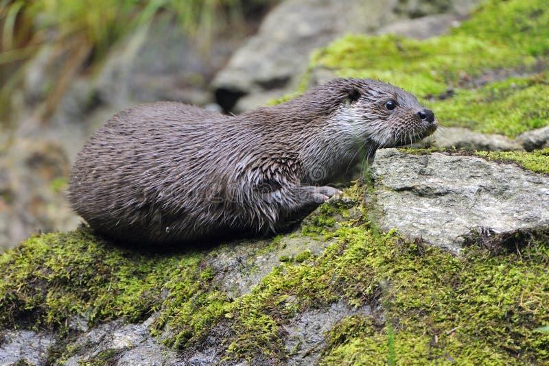 Download European Otter stock photo. Image of dark, wildlife, portrait - 20536066