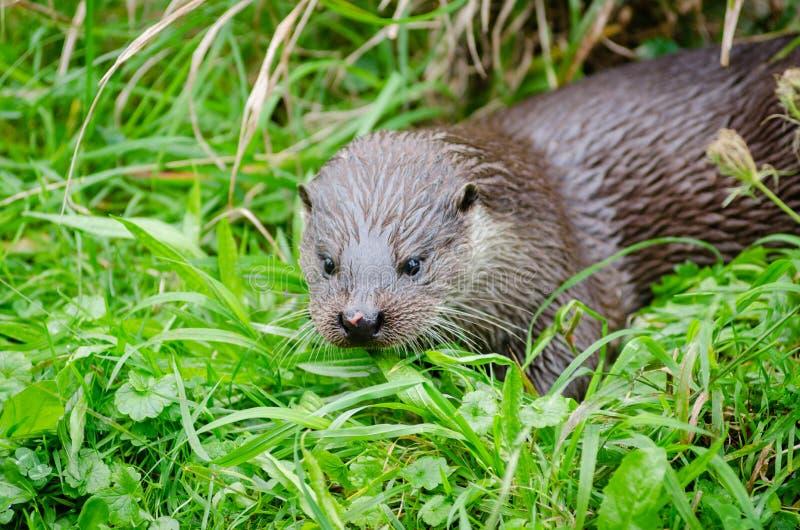 European Otter Free Public Domain Cc0 Image