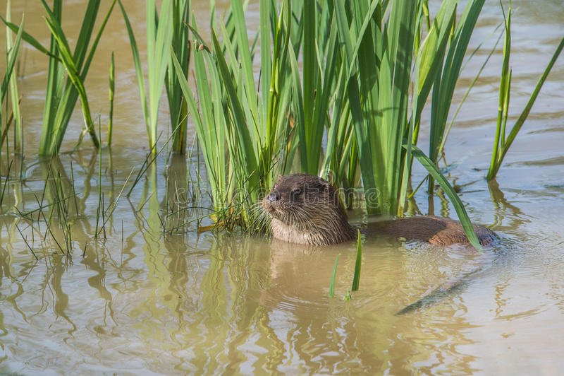 European Otter. royalty free stock photos