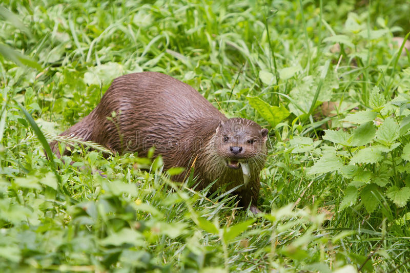 European Otter eating fish royalty free stock images