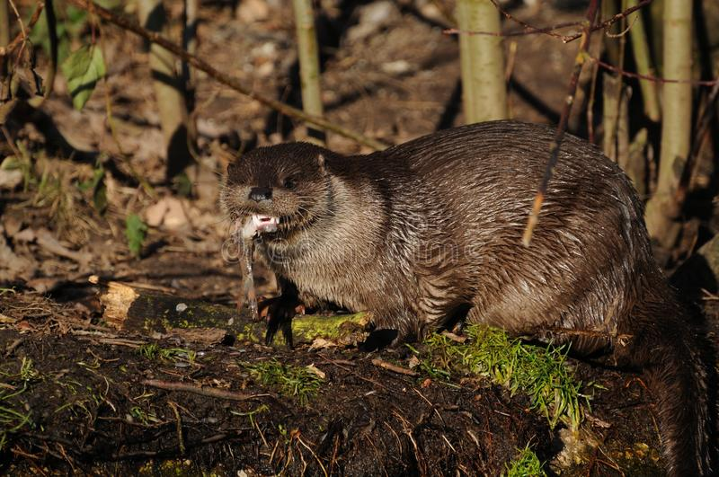 European Otter (Lutra lutra). The european otter has many names. He is also known as the Eurasian otter, Eurasian river otter, common otter and Old World otter stock photos