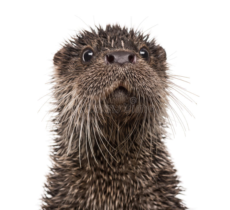 Free European Otter, Lutra Lutra, Isolated Stock Image - 40412981