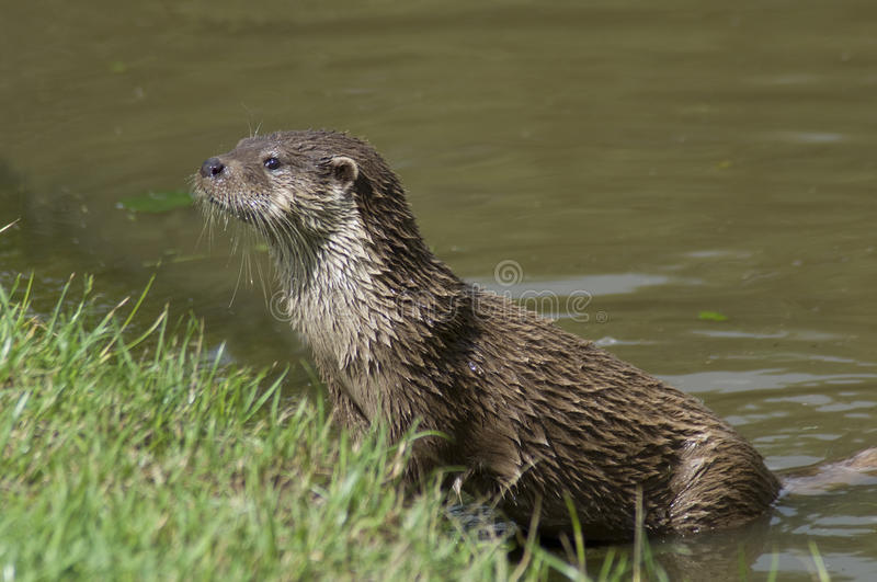 European Otter. The European otter (Lutra lutra) is now found in all counties in England stock photo