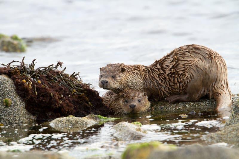 European otter (Lutra lutra) stock image