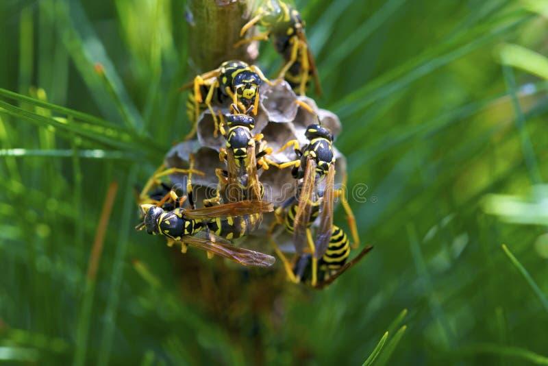 European Paper Wasps 810123 stock image