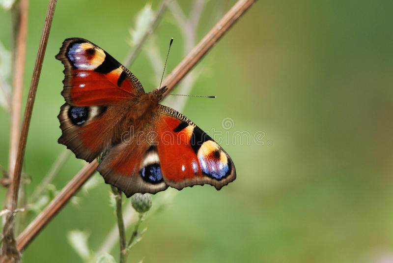 European Peacock. Inachis Io Butterfly royalty free stock image