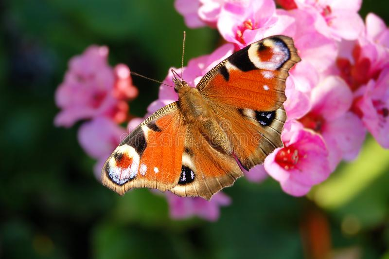 European peacock Aglais io on bergenia flower.  stock photos