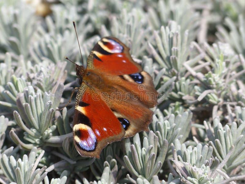 European peacock. AKA Aglais io. Shot with a Lumix DMC-FZ200 royalty free stock photography