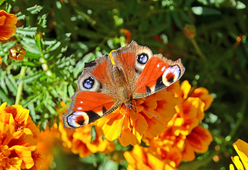 Download European Peacock Butterfly (Inachis Io) Royalty Free Stock Photo - Image: 24468145