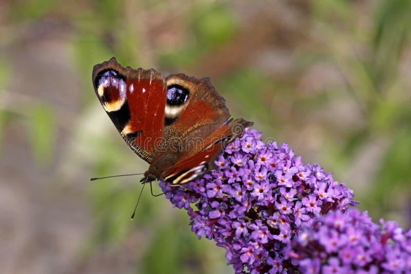 European Peacock Butterfly, Nymphalis Io Stock Image