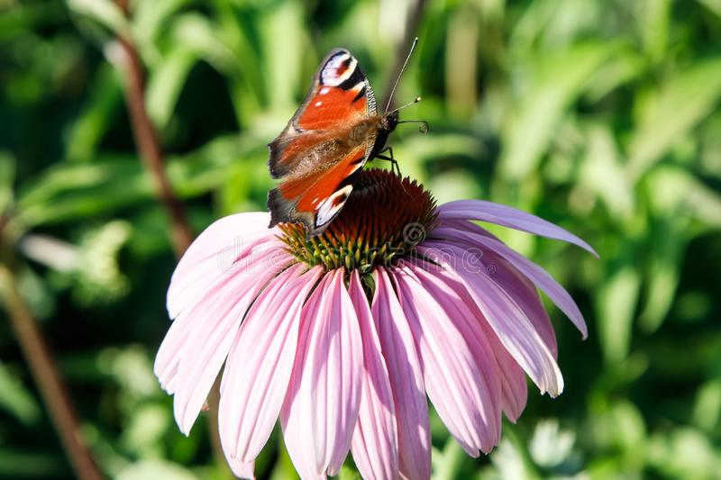 The European Peacock Butterfly on a purple Echinacea cone flower stock image